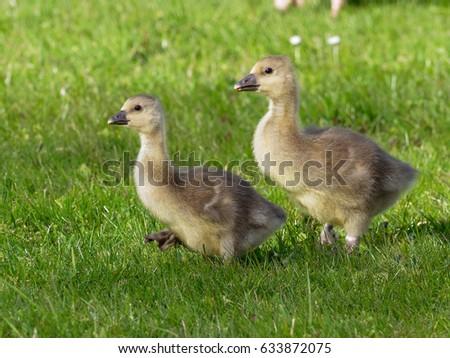 Goslings from Greylag goose ( Anser anser ) #633872075