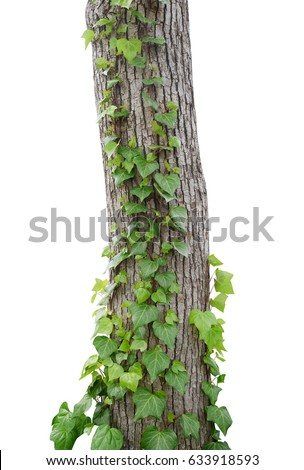 Ivy vines climbing tree trunk isolated on white background, clipping path included #633918593