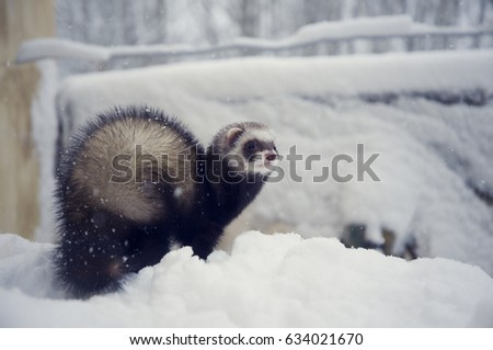 Dark sable ferret in snow outdoor in winter #634021670