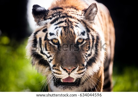Close-up of a tiger's head, walking toward the viewer