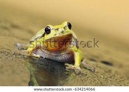 portrait of curious tree frog on wet glass ( Hyla arborea ), looking at the camera #634214066