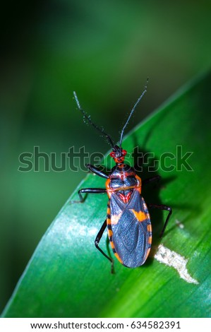 Red and black Assassin bug on a leaf, Pietermaritzburg, South Arica