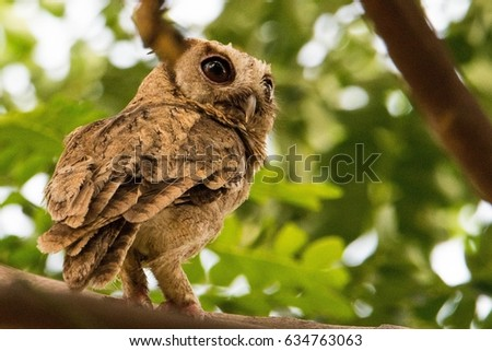 Owl (A nocturnal bird of prey with large forward-facing eyes surrounded by facial disks, a hooked beak, and typically a loud call) #634763063