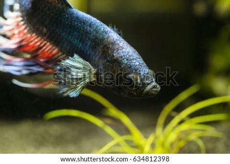 Fish fighter blue swimming in an aquarium. #634812398