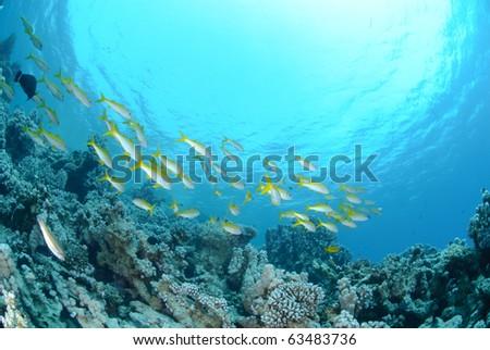 Small school of Red sea goatfish (Parupeneus forsskali). Red Sea, Egypt. #63483736