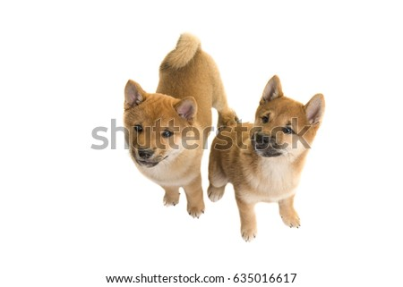 Two shiba Inu puppy dogs both sitting and looking up seen from above isolated on a white background #635016617
