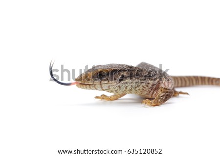 Savannah monitor lizard  isolated on white background #635120852