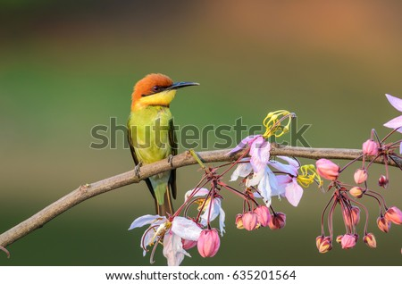 Chestnut-headed Bee-eater or Merops leschenaulti, beautiful bird on branch with colorful background. #635201564