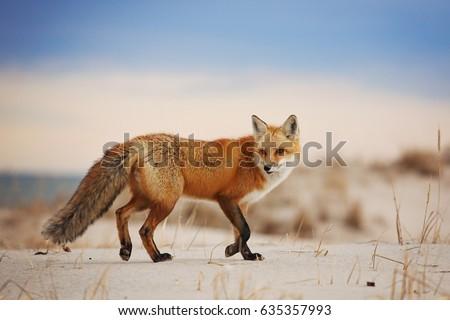 Fox Running on Beach Sand Dunes