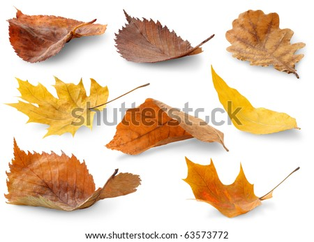 Isolated leaves collection. Colorful autumn leaves of various trees lying on a ground isolated on white backround #63573772
