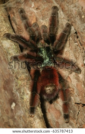 Close up picture of a large colorful tarantula from South America. A venomous scary spider with long hair on its leg.