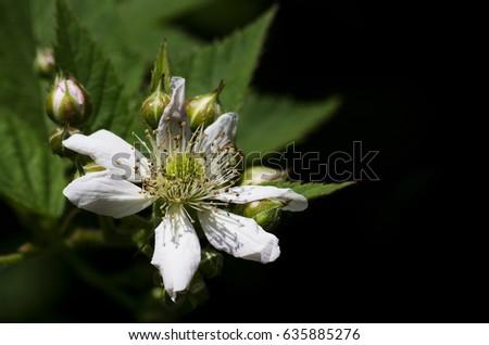 blackberry blossom #635885276