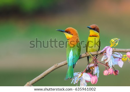 Chestnut-headed Bee-eater or Merops leschenaulti, beautiful bird on branch with colorful background. #635961002