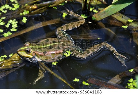 Frog in the water between reeds and other water plants in the river in vivo development #636041108