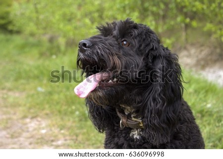 Close up of a black cockapoo, dog sat down with its tongue sticking out #636096998