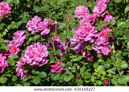 Pink roses in garden with green leaves backgroud #636168227