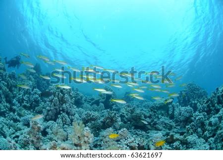 Small school of Red sea goatfish (Parupeneus forsskali). Red Sea, Egypt. #63621697