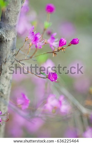 rhododendron flowers and buds in a sunny day in spring in Siberian forest #636225464