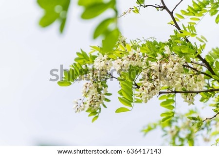acacia tree branch flowers #636417143