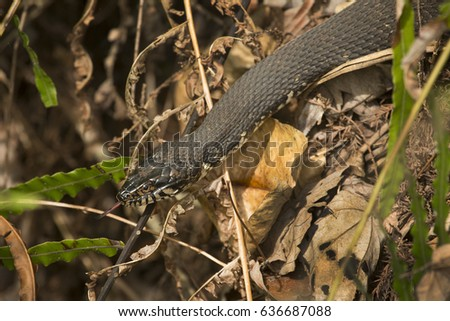 Banded water snake, Nerodia fasciata, at Corkscrew Swamp with its tongue sticking out in the Florida everglades.  Royalty-Free Stock Photo #636687088