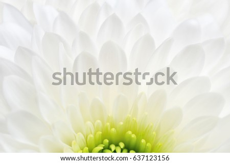 White chrysanthemum close up isolated on white background. Macro image with small depth of field. #637123156