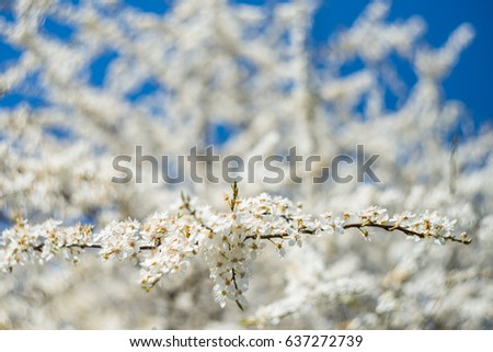 Spring blooming cherry, white flowers. #637272739