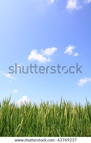 green rice field and blue sky #63769237