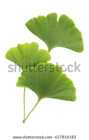 Ginkgo leaves isolated on white background with clipping path #637816183