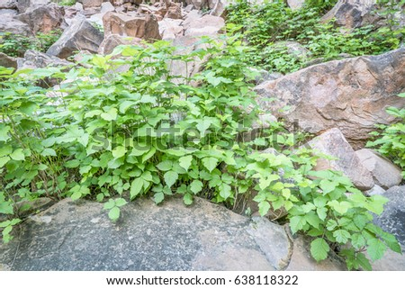 poison ivy (Toxicodendron radicans) growing in abundance at a bottom of in sandstone canyon in the Moab area, Utah