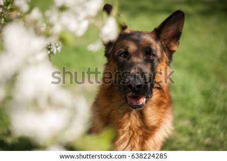 German shepherd portrait with a blooming apple tree #638224285