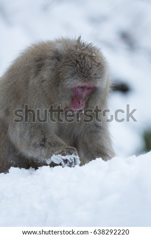 Japanese Macaque searching for food. #638292220