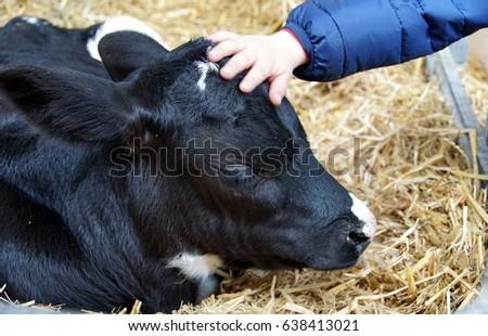 A child´s hand caresses a little calf #638413021