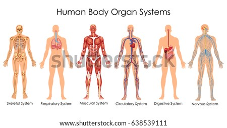 Medical Education Chart of Biology for Human Body Organ System Diagram. Vector illustration Royalty-Free Stock Photo #638539111