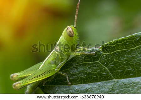 Baby grasshopper on leaf. #638670940