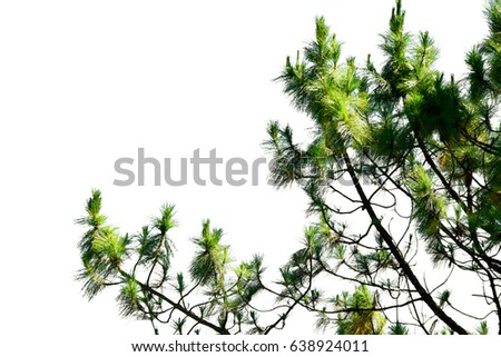 Branches and leaves of the pines on white background #638924011