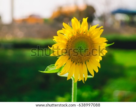 Sunflower #638997088