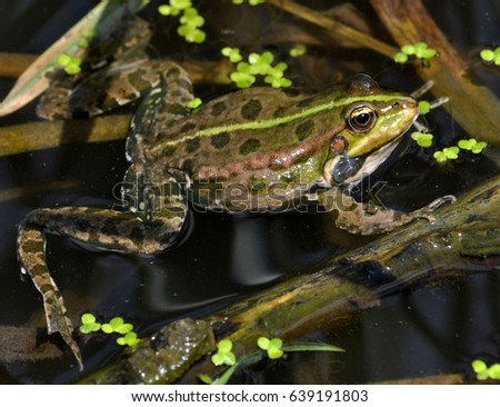 Frog in the water between reeds and other water plants in the river  #639191803