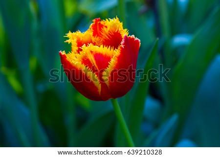 Macro photography of bergenia Korean flower  #639210328
