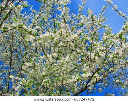 blooming flowers of Prunus cerasus, sour cherry, tart cherry, dwarf cherry, #639249472