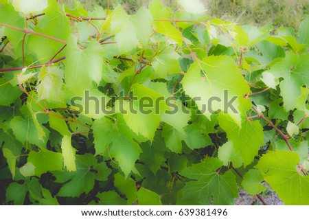 Vitis (Vitaceae) aka vine or grapevine plant, dreamy faded look #639381496