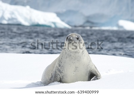 Crabeater seal on the ice.