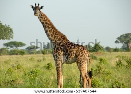 Giraffe Turned to Face The Camera #639407644