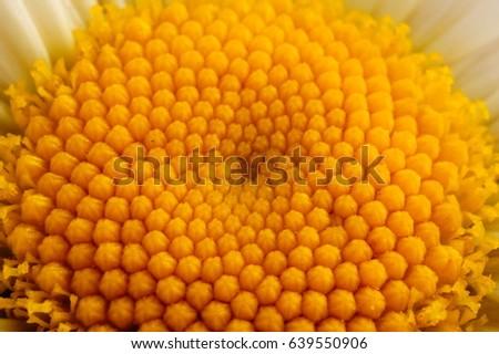 seeds of daisy #639550906