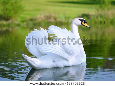Lake with a white swan #639708628
