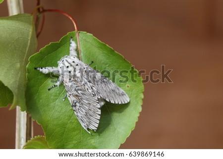 Puss moth, large white moth with dark markings, on Poplar leaf. #639869146
