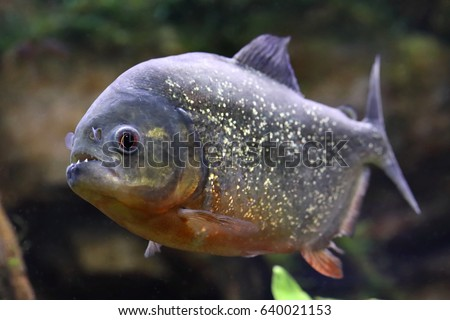 Pygocentrus nattereri. Piranha closeup in the aquarium
