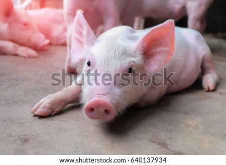 Small piglet sleep in the farm. Group of Pig indoor on a farm yard in Thailand. swine in the stall. Close up eyes and blur. #640137934