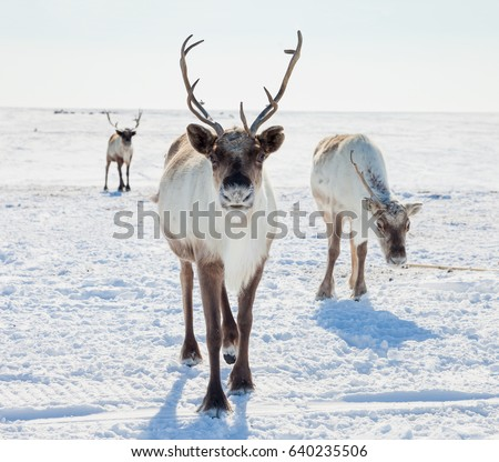 Reindeer in winter tundra Royalty-Free Stock Photo #640235506