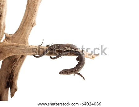 Lizard on a tree isolated on white background #64024036