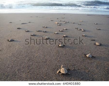 baby turtles walking towards the ocean after hatching, EL PAREDON, GUATEMALA, October 2015 #640401880